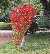 SVI Frische 100 PC-Chrysantheme-Blumen-Samen zum