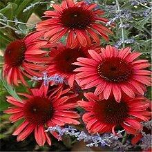 SVI Frische 100 PCS Echinacea Sonnenhut