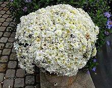 SVI Frische 100 Stück Chrysantheme ausdauernde