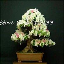SVI Frische 100 Stück Rhododendron Blumensamen