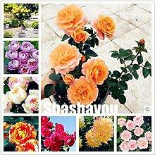 SVI Frische 100 Stück Staude Rosenblumensamen zum