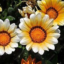 SVI Frische 100pcs Bellis Chrysantheme Blumensamen