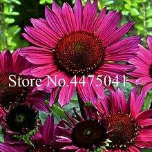 SVI Frische 100pcs Echinacea purpurea Blumensamen