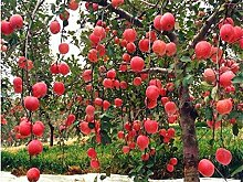 SVI Frische 20 PCS Apfelbaum Bio-Obst Samen zum