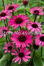 SVI Frische 200 Stück Echinacea purpurea
