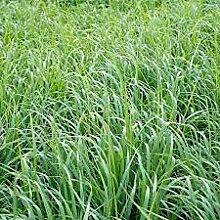SVI Swich Grass Pflanze Samen