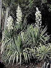 SVI Yucca Gloriosa Pflanze Samen