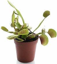 Swampworld Becher - Fleischfressende Pflanze - Venusfliegenfalle