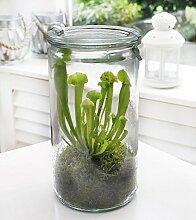Swampworld Glas XL - Fleischfressende Pflanze - Papageien Schlauchpflanze
