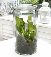 Swampworld Glas XL - Fleischfressende Pflanze - Schlauchpflanze