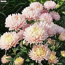 SwansGreen 1: 200pcs/bag Dwarf Aster Samen Staudenregenbogen Chrysanthemum Blumen Garten Zierpflanze für Blumentopf Pflanz 1