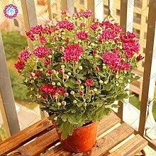 SwansGreen 100 PCS/Chrysanthemum Samen pflanzt Staude Familiengarten Zimmerpflanze Zier Bonsai Pflanze