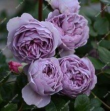 SwansGreen 11: Exotische Rosas/Rose Samen