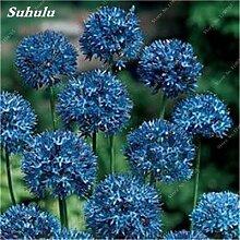 SwansGreen 13: Beauty Garden Creative-Pflanze 100Pcs Riesenzwiebel Samen Allium Giganteum Blumensamen Staude Blumen Bonsai Pflanze DIY Hausgarten 13