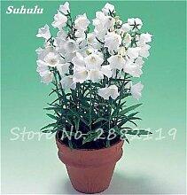 SwansGreen 2: 100 PC/Beutel Rare Campanula Samen Chile Rosea Blumentöpfe Glockenblume Immergrüne Pflanze für Balkon & Garten Schönheit Ihr Garten 2