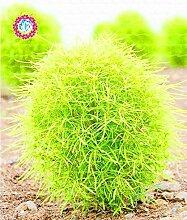 SwansGreen 2: 200pcs maldives Bonsai Samen super reizenden maldives Ball Grassamen Zierpflanze DIY Topfpflanze 2