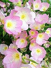 SwansGreen 2: 200pcs Nachtkerzensamen Bonsai Samen Zierpflanze für 2 ausdauernde Kräuterpflanzen Hausgarten Indoor-Anlage