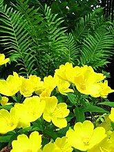 SwansGreen 4: 200pcs Nachtkerzensamen Bonsai Samen Zierpflanze für 4 ausdauernde Kräuterpflanzen Hausgarten Indoor-Anlage