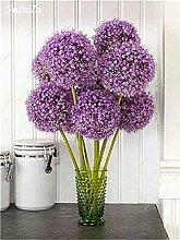 SwansGreen 4: Beauty Garden Creative-Pflanze 100Pcs Riesenzwiebel Samen Allium Giganteum Blumensamen Staude Blumen Bonsai Pflanze DIY Hausgarten 4