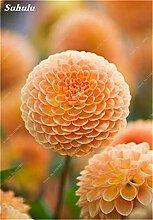 SwansGreen 5: Beauty Garden Creative-Pflanze 100Pcs Riesenzwiebel Samen Allium Giganteum Blumensamen Staude Blumen Bonsai Pflanze DIY Hausgarten 5