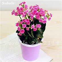 SwansGreen 8: 100 PC/Beutel Rare Campanula Samen Chile Rosea Blumentöpfe Glockenblume Immergrüne Pflanze für Balkon & Garten Schönheit Ihr Garten 8