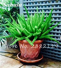 SwansGreen 8: Großer Verkauf! 60 PC Foxtail Samen, Foxtail Ferns Bonsai Perennial Flowers Natur Wachstum Zierpflanze Grassamen für Garten 8