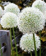 SwansGreen Beauty Garden Creative-Pflanze 100Pcs Riesenzwiebel Samen Allium Giganteum Blumensamen Staude Blumen Bonsai Pflanze DIY Hausgarten 17