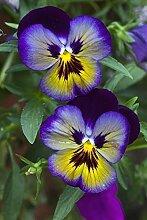 SwansGreen Blau: Geben Sie Schiff 20 Graines De Violet Samen Schöne Pflanze Bonsai Blumen-Samen-tropische Blumen-Samen Staude Matthiola Incana