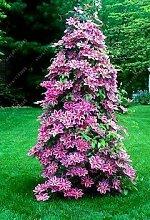 SwansGreen Echtkletter Klematis Glühbirnen, Klematis Baum Glühbirnen, ausdauernde Pflanze Topfblumenzwiebeln (nicht Klematis Samen) für zu Hause Garten PC 1 3