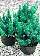 SwansGreen gemischt: Großer Verkauf! 60 PC Foxtail Samen, Foxtail Ferns Bonsai Perennial Flowers Natur Wachstum Zierpflanze Grassamen für Garten