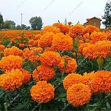 SwansGreen Marigold Chrysanthemum Samen Staude Blüte Hausgarten Bonsai Pflanze Zierpflanzen Vier Jahreszeiten Blumen 20 PC/Beutel