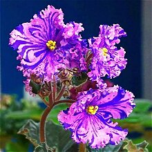 SwansGreen Mehrfarbig: Geben Sie Schiff 20 Graines De Violet Samen Schöne Pflanze Bonsai Blumen-Samen-tropische Blumen-Samen Staude Matthiola Incana