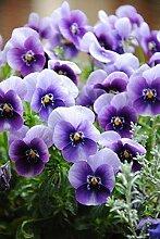 SwansGreen Orange: Geben Sie Schiff 20 Graines De Violet Samen Schöne Pflanze Bonsai Blumen-Samen-tropische Blumen-Samen Staude Matthiola Incana