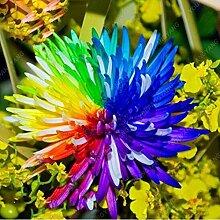 SwansGreen Violet: 100pcs/bag Bodendecker Chrysanthemum Samen Einfache Blumensamen wachsen für Hausgarten Bonsaipflanzen Viole