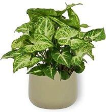 Syngonium Arrow - Purpurtute - Zimmerpflanze im