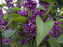 Syringa vulgaris 'Charles Joly' -