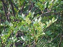 Szechuanpfeffer Zanthoxylum schinifolium Pflanze