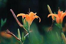 Taglilie TaglilieZwiebeln Hohe Keimrate Pflanze im