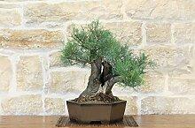 Tamarisk bonsai tree (3)