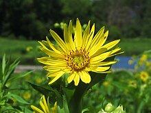 Tasse Pflanze, Gelb PERENNIAL bildet