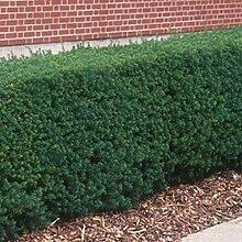 Taxus baccata 25 Stück Heimische-Eibe 20-25 cm