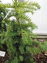 Taxus baccata dovastoniana Aurea - gelbe