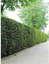 Taxus baccata Gemeine Eibe 140-160 cm. Angebot: 18