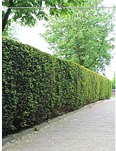 Taxus baccata Gemeine Eibe 140-160 cm. Angebot: 25