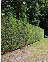 Taxus baccata Gemeine Eibe 160-180 cm. Angebot: 18