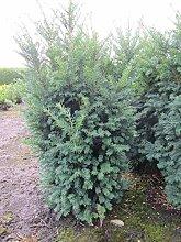 Taxus baccata Schwarzgrün - Schwarzgrüne Eibe