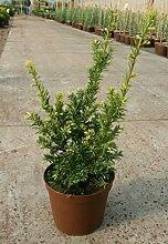 Taxus baccata Semperaurea - Gelbe Eibe Semperaurea