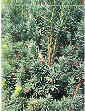 Taxus media Hicksii 180-200 cm. Angebot: 18 Eiben.