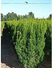 Taxus media Hicksii 180-200 cm. Angebot: 8 Eiben.