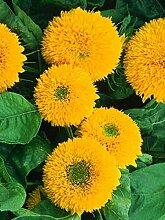 Teddybär Sunflower Seeds ~ 300 ct Garten-Blumen ~